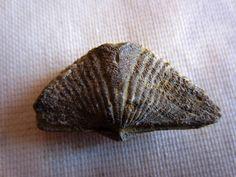 1 Selected By Random Ohio Sylvania winged Brachiopod Mucrospirifer