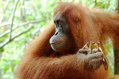 Indonesia Orang Utan Sumatra Orangutans, Gorillaz, Monkeys, Kitty, Orange, Projects, Little Kitty, Log Projects, Rompers