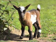 Aww! I want a goat!