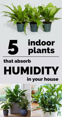 5 Indoor Plants That Absorb Humidity In Your House A room or, worse, a house with high humidity is the perfect environment for mold and mildew or for unpleasant smells, and the appearance of
