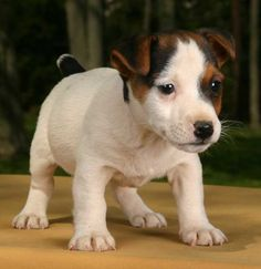 jack russell | Jack Russell Puppy Graphics Code | Jack Russell Puppy Comments ...