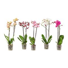 IKEA PHALAENOPSIS Potted plant Orchid/2 stems 12 cm