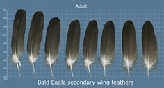 The Feather Atlas - Feather Identification and Scans Bald Eagle Feather, Eagle Feathers, Bird Feathers, Eagle Wings, Bird Wings, Feather Crafts, Feather Art, Feather Headdress, Diy Resin Crafts
