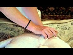 Tui Na- Massage technique used in Traditional Chinese Veterinary Medicine to relax, reduce pain, and improve function and mobility in painful/arthritic dogs & cats.