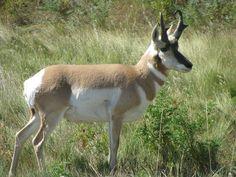 Lewis and Clark's Scientific Discoveries: Animals, Oregon Pronghorn Lewis And Clark, Kangaroo, Discovery, Goats, Oregon, Animals, Image, Animales, Lewis N Clark