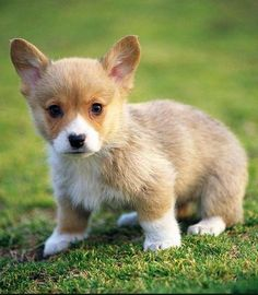 is that a welsh corgi