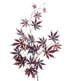 Japanese Maple Spray 100cm