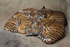 Tiger Love   by photofest2009 - Kathy Newton