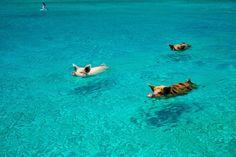 Cochons qui nagent, Exuma, Bahamas.