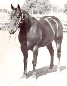 Poco Tivio was one of 10 honorees inducted into the American Quarter Horse Hall of Fame in March during the Hall of Fame banquet, part of the 2013 Convention. Learn more about this amazing stallion: http://americashorsedaily.com/poco-tivio/ Photo courtesy of the American Quarter Horse Hall of Fame & Museum.
