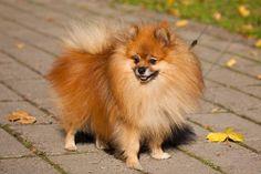 Clostridium perfringens bacteria are common in dogs. This bacteria is often…