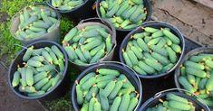 Чудо-подкормка для огурцов для тех, кому нужен богатый урожай — Мир интересного Green Beans, Green Bean