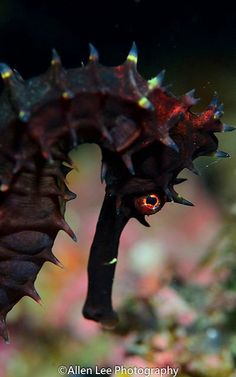 Throny Sea Horse by Allen Lee(houpc) on Flickr.