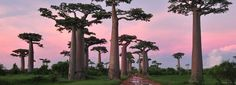 """Baobab trees are native to Madagascar (it's the country's national tree!), mainland Africa, and Australia. A cluster of """"the grandest of all"""" baobab trees (Adansonia grandidieri) can be found in the Baobab Avenue, near Morondava, in Madagascar. Places Around The World, The Places Youll Go, Places To See, Around The Worlds, Le Baobab, Baobab Tree, Beautiful World, Beautiful Places, Beautiful Scenery"""