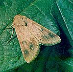 CORN EARWORM, Heliothis zea (Boddie) adult
