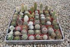 "2"" Assorted Cactus bulk wholesale wedding Favor gifts at the succulent source - 1"