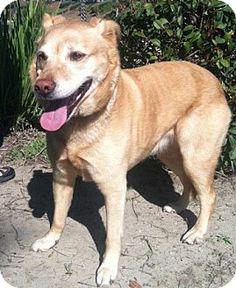 Temecula, CA - Golden Retriever/Labrador Retriever Mix. Meet Mitzee a Dog for Adoption.