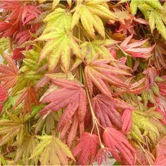 Moonrise Japanese Full Moon Maple - color change in Spring & Fall