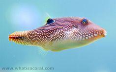 canthigaster solandri (en) jewel puffer fish, spotted sharpnose, false-eye toby, Netted Puffer (de) Augenfleck-Spitzkopf-Kugelfisch, (fr) Poisson Ballon