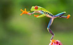 Amazing Photos from Around the Net: Acrobat frog