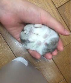 手の上でどれだけ撫でられても、全く抵抗しないハムスターが可愛いとTwitterで話題になっている。飼い主の手に乗ると2秒で脱力して寝てしまうというジャンガリアン