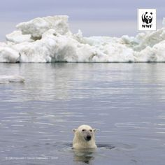 WWF #PicoftheWeek: Polar bear swimming, Beaufort Sea, Arctic Ocean, Alaska. Find out more about our research work in the Arctic http://pand.as/wwfpolarbear