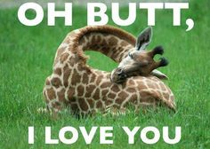 Giraffe curled up on Green Grass Oh Butt, I Love You, 30 Funny animal captions - part funny animal meme, animal pictures with captions, funny animal pictures.this one looks like tinker bell haha Beautiful Creatures, Animals Beautiful, Cute Baby Animals, Funny Animals, Sleepy Animals, Tired Animals, Big Animals, Crazy Animals, Nature Animals