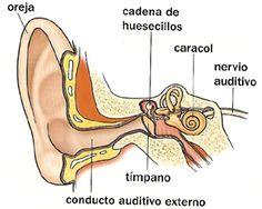 Órgano del Oído
