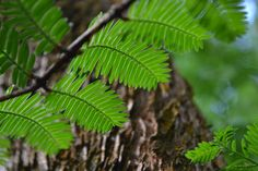Dawn redwood - a relative of the giant sequoia.