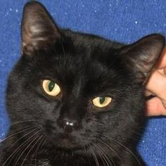 Darwin is an adoptable adult neutered male Domestic Short Hair cat in Madison, WI.