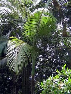 Archontophoenix myolensis.  This is a very attractive Australian palm.  It is related to the king palm (Archontophoenix cunninghamiana), but has an apple green crown shaft and is smaller in overall size.  They can be grown in tropical to temperate climates and make an excellent addition to any tropical garden.