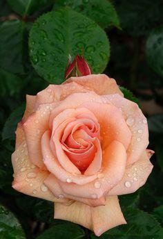 •* Oler la frangancia de las rosas es perfumar el alma, como la inocencia de los ninos!