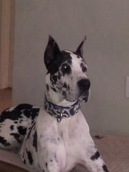 Marley is a Great Dane, Dog; #adoptable in #Jacksonville, #NCarolina...what an absolutely beautiful animal!