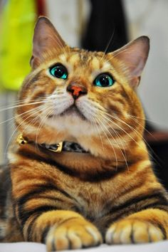 Blue eyed Bengal www.superstarpetservices.com