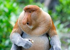 This Proboscis monkey is one of many endangered animals from the mangrove forest. It may seem hard to believe, but male proboscis monkeys use their fleshy, pendulous noses to attract mates. Scientists think these outsize organs create an echo chamber that amplifies the monkey's call, impressing females and intimidating rival males.