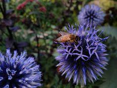over 15 Seeds Echinops ritro bees beekeeping di HoneyTreeandBehind