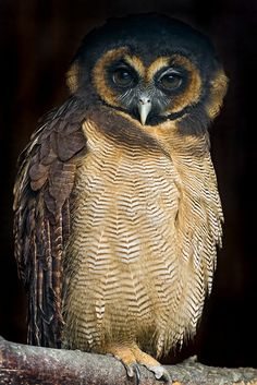 A perched brown wood owl, taken at the Greifvogelpark Buchs.  Pinned by www.myowlbarn.com