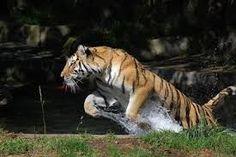 Resultado de imagen para tigres