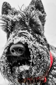 Snow scottie with prominent facial featiures and that nose!  #dogs #pets #ScottishTerriers Facebook.com/sodoggonefunny