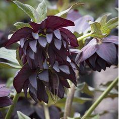 Hellebores: Winter's Happy Harbingers | Grow Beautifully
