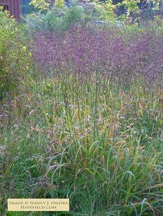 Tridens flavus (Purpletop Tridens) Seeds