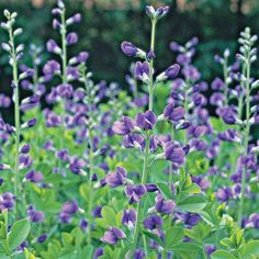baptisia seems to have everything going for it: It's heat, drought, deer, and rabbit resistant; it doesn't need to be divided; the seed heads are lovely if you don't deadhead it; and the blue-green foliage looks great in the garden from spring to fall. It thrives in sun but tolerates part shade. Name: Baptisia australis Size: To 5 feet tall and 2 feet wide Zones: 3-9 Plant it with: Siberian iris, giant allium, and perennial geranium