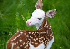 【RT1100UP】 母親に育児放棄された顔が白い小鹿のバンビに、新たなる生きがいを与えられる(アメリカ) http://karapaia.livedoor.biz/archives/52193505.html…