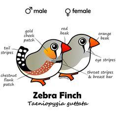 Zebra Finch- Male Female