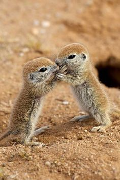 Betcha don't know what these little critters are! They're round-tailed ground squirrels. Obviously.
