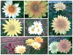 GAZÂNIA - Flor conhecida como FUNCIONÁRIA. Abrem durante o dia e fecham à noite.