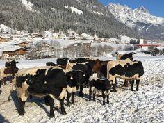 Eine Herde im Freiland. Auch und vor allem im Winter lieben es die Tiere, auf dem Schnee herum zu tollen. Winter, Animals, Farmers, Volunteers, Mountains, Snow, Winter Time, Animales, Animaux