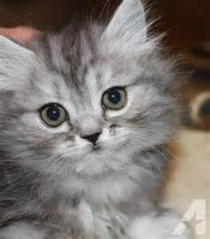 Silver Tabby Persian - Bing Images