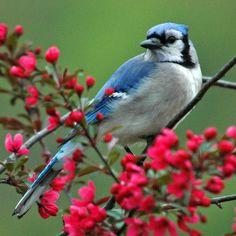Blue Jay © Jerry Acton