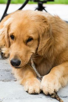 17 Pics That Prove Golden Retrievers Are Not The Funniest Dogs Everyone Says They Are Female Golden Retriever, Dogs Golden Retriever, Retriever Puppy, Funny Golden Retrievers, Best Dogs For Families, Family Dogs, Golden Dog, Golden Heart, Beautiful Dogs